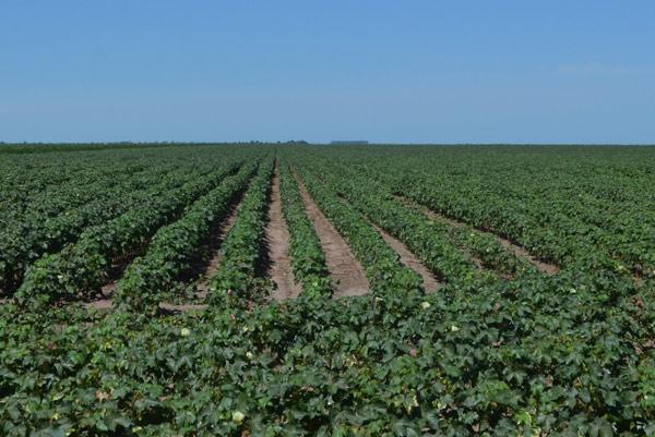A área de plantio de algodão para a safra 2014/2015, na região oeste da Bahia, é de 266.640 hectares