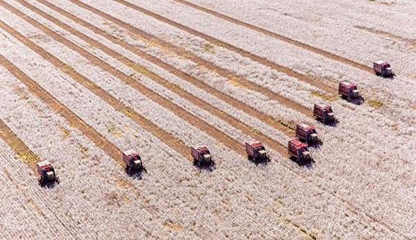A colheita dos 300 mil hectares de algodão plantados na Bahia começa em julho
